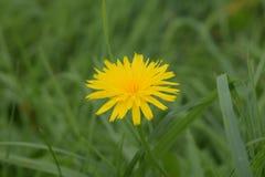 在草的一朵蒲公英花 免版税库存图片