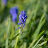 在草的一朵蓝色花 库存照片