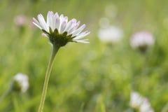 在草的一朵雏菊 免版税图库摄影
