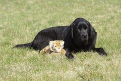 在草的一条狗与一个软的玩具 库存图片