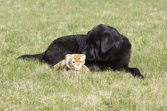 在草的一条狗与一个软的玩具 库存照片