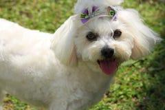 在草的一条白色狗 免版税图库摄影