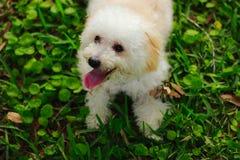 在草的一条逗人喜爱的玩具狮子狗狗 库存照片