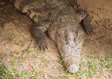在草的一条鳄鱼,淡水鳄鱼 库存图片