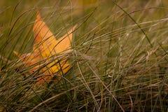 在草的一棵叶子槭树 库存图片