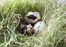 在草的三个鹌鹑蛋 图库摄影