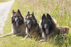 在草的三只牧羊犬 库存图片