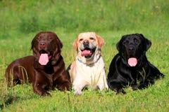 在草的三条拉布拉多猎犬狗 库存照片
