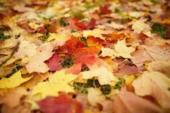 在草的下落的秋叶在早晨 免版税库存照片
