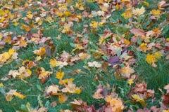 在草的下落的秋叶在晴朗的早晨点燃 免版税库存照片
