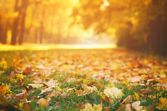 在草的下落的秋叶在晴朗的早晨 免版税库存照片