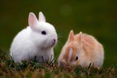 在草的两个兔宝宝 免版税库存图片
