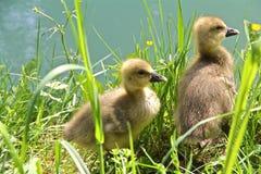 在草的两只幼鹅由河 免版税库存照片