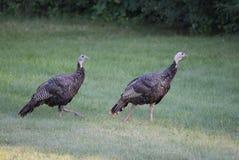 在草的两只母鸡火鸡 免版税库存照片