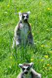在草的两只狐猴 库存照片