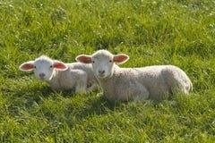 在草的两只羊羔 库存图片