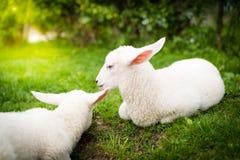 在草的两只羊羔 免版税库存照片