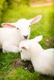 在草的两只羊羔 库存照片
