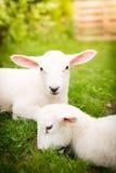 在草的两只羊羔 免版税图库摄影