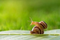 在草的两只蜗牛 库存图片