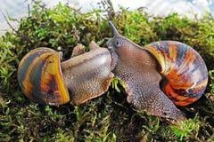 在草的两只蜗牛 Akhatin的蜗牛 免版税库存图片
