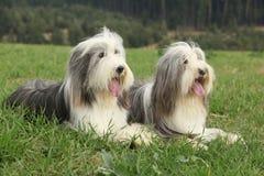 在草的两只令人惊讶的有胡子的大牧羊犬 库存图片