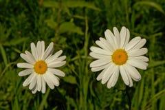 在草的两朵雏菊花-艾里斯perennis 免版税图库摄影