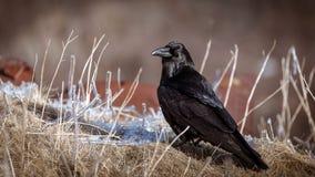 在草的乌鸦 免版税图库摄影