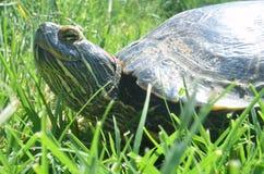 在草的乌龟 免版税库存图片
