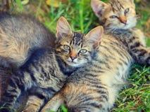 在草的二只小猫 免版税库存照片