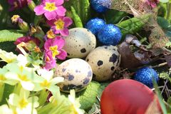 在草的五颜六色的复活节鹌鹑和鸡蛋日语与报春花 库存照片
