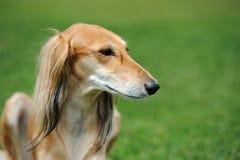 在草的俄国猎狼犬狗 图库摄影