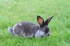 在草的兔子 免版税图库摄影