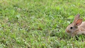 在草的兔子 影视素材