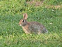 在草的兔子 免版税库存图片