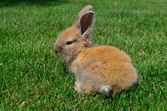 在草的兔宝宝 免版税图库摄影