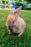 在草的兔宝宝 图库摄影