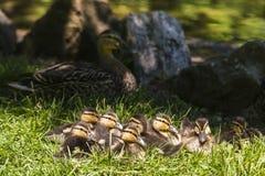 在草的八只逗人喜爱的棕色和黄色野鸭鸭子挤作一团 库存图片