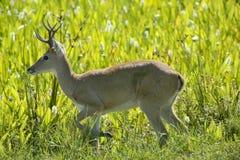 在草的公南美大草原鹿 免版税库存图片