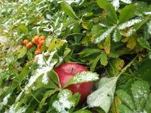 在草的冬天苹果 库存图片