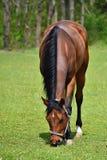 在草的动物 自由地吃草本质上的美丽的马 免版税库存图片