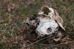 在草的动物头骨 免版税图库摄影