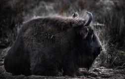 在草的北美野牛在Bialowieza森林里 库存照片