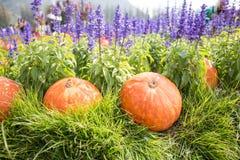 在草的南瓜有淡紫色背景 图库摄影