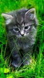 Lovely gray kitten in the grass. 免版税库存照片