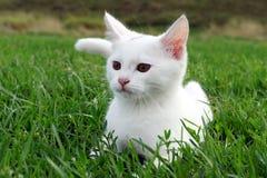在草的可爱的白色小猫 免版税图库摄影