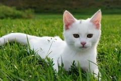 在草的可爱的白色小猫 库存图片