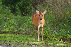 在草的咆哮的鹿 免版税库存照片
