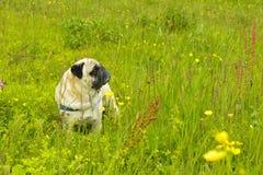 在草的哈巴狗狗 库存图片