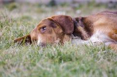 在草的困混杂的品种狗 免版税库存照片